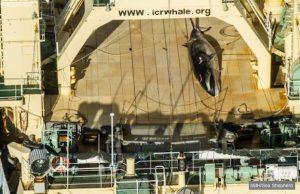 japan whale